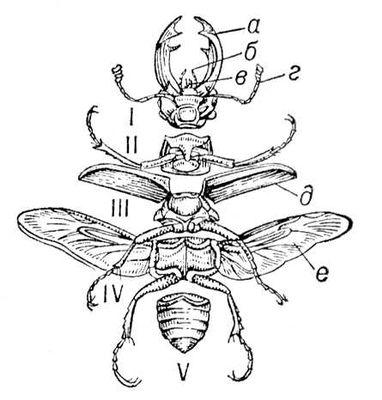 Расчленённое тело жука-оленя