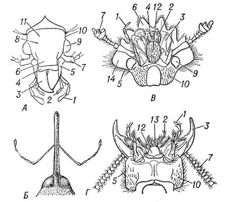 Строение головы жуков: А