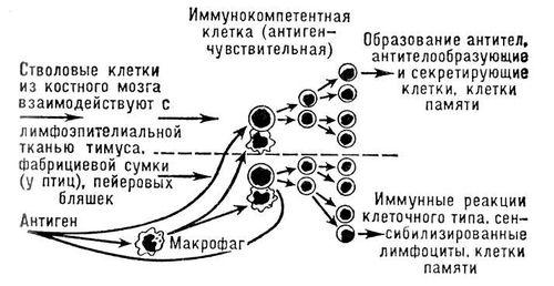 Схема взаимодействия клеток
