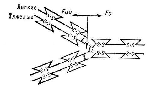 Схема молекулы иммуноглобулина