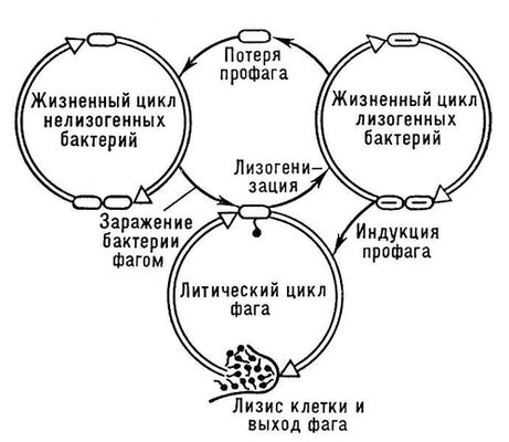 Общая схема лизогении.