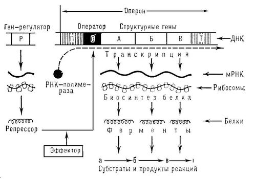 Схема регуляции биосинтеза