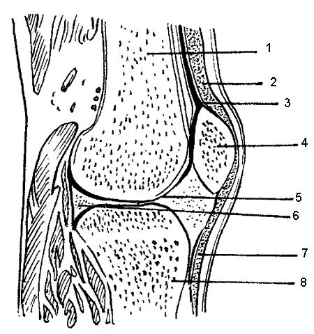 Строение сустава: 1,8 – кость,