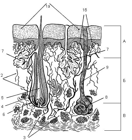 Строение кожи: А – эпидермис,