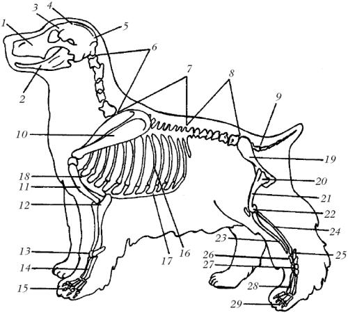 Скелет американского