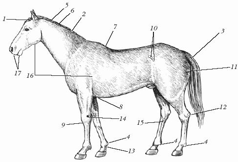 Спаривание лошадей с человеком