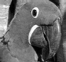попугай робинзона крузо картинки