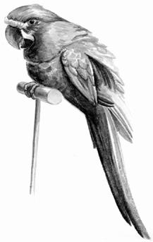 Как научить попугая говорить