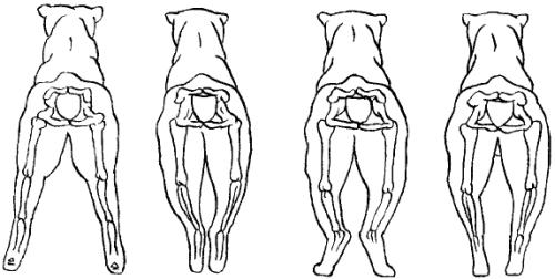 У щенка сближение скакательных суставов на задних лапах собаки болезнь собак суставы