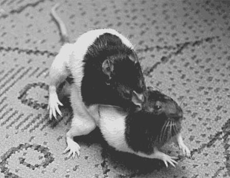 Половой член мышей
