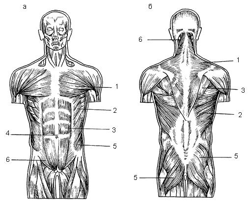 Мышцы человека: а – вид