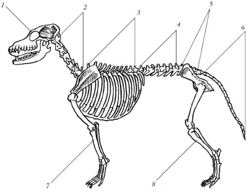 Скелет собаки: 1 – черепная