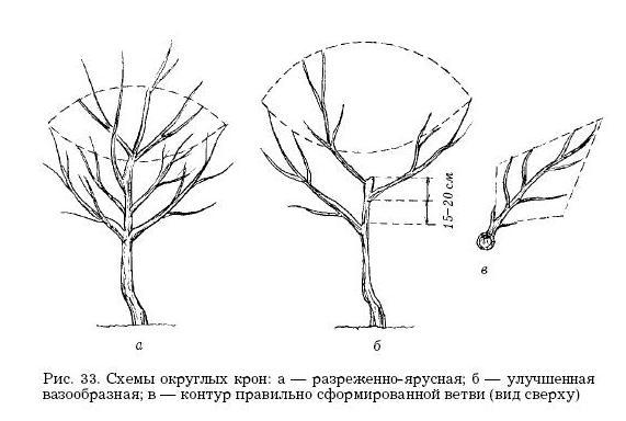 Схема обрезки абрикоса 16