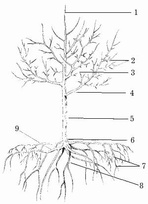 Молодое плодовое дерево: 1