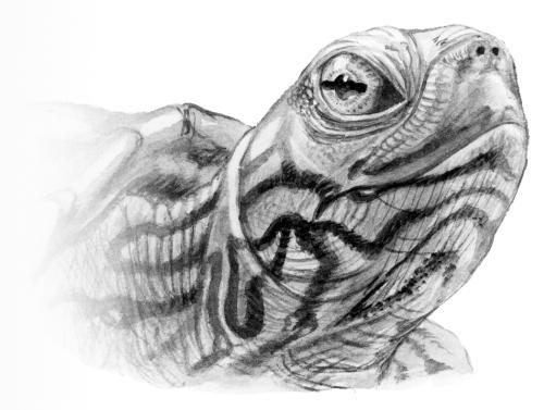 рисунок черепахи: