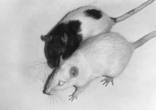 декоративные крысы знакомство с ними