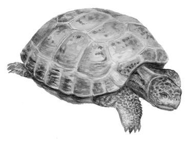 фото черепаха степная