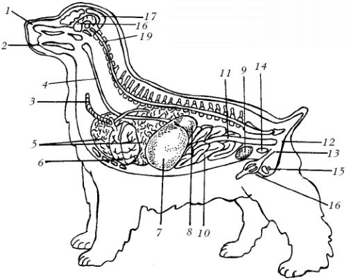 Внутренние органы собаки: 1