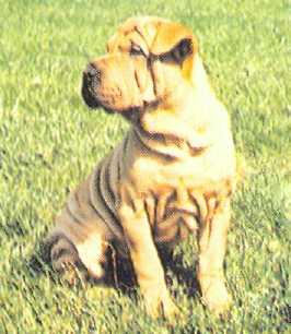 Кирпичного цвета язык у собаки