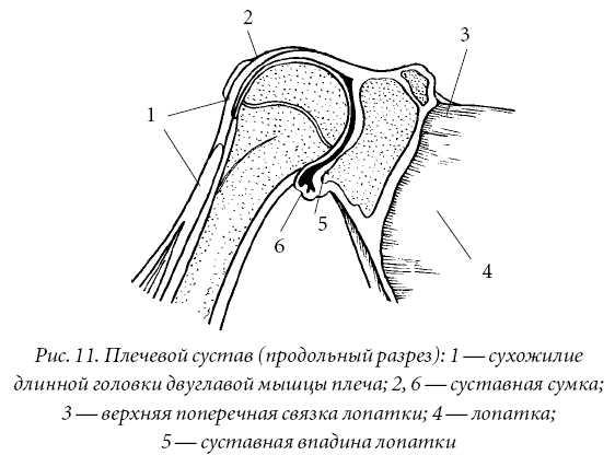 Плечевой сустав – трехосный