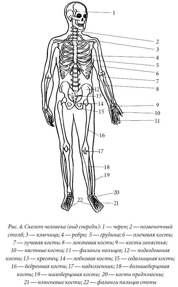 Осевой скелет
