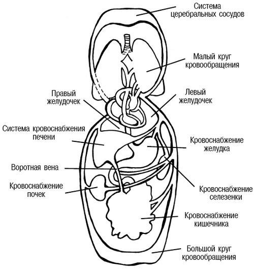 Система кровообращения в