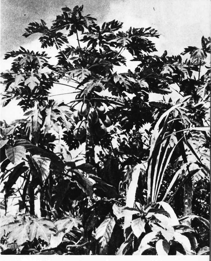 Карибский сувенир